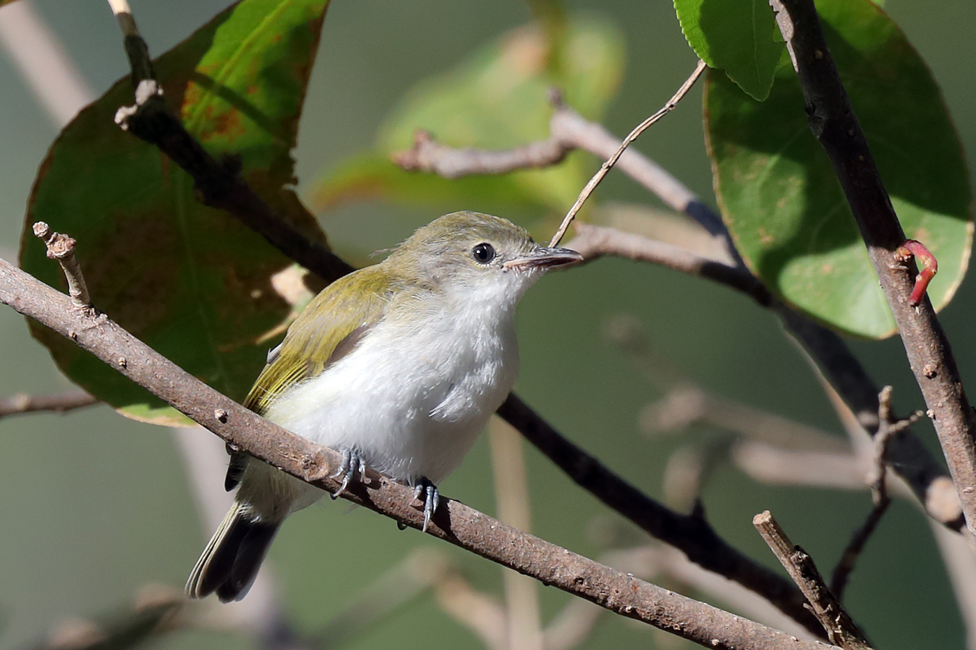Green-backed Gerygone (Image ID 30886)