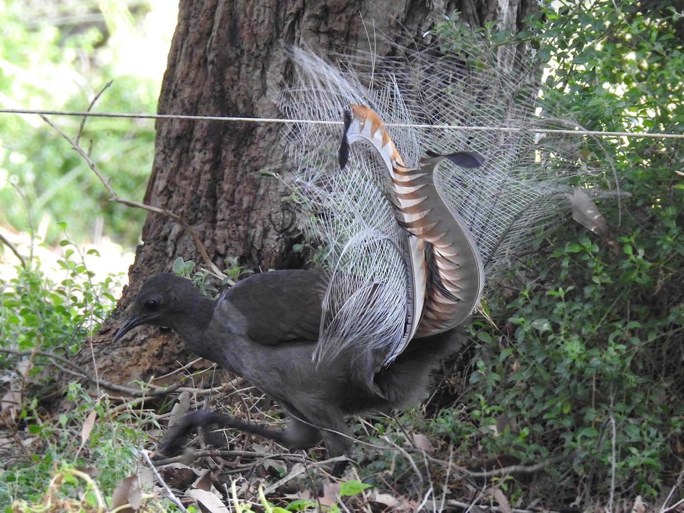 Superb Lyrebird (Image ID 30945)