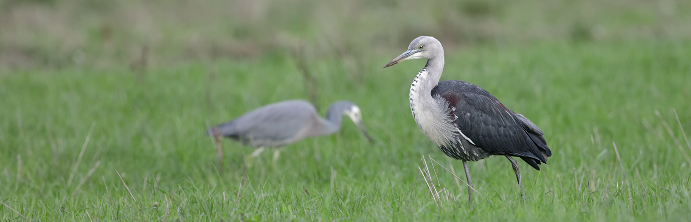 White-faced Heron, White-necked Heron