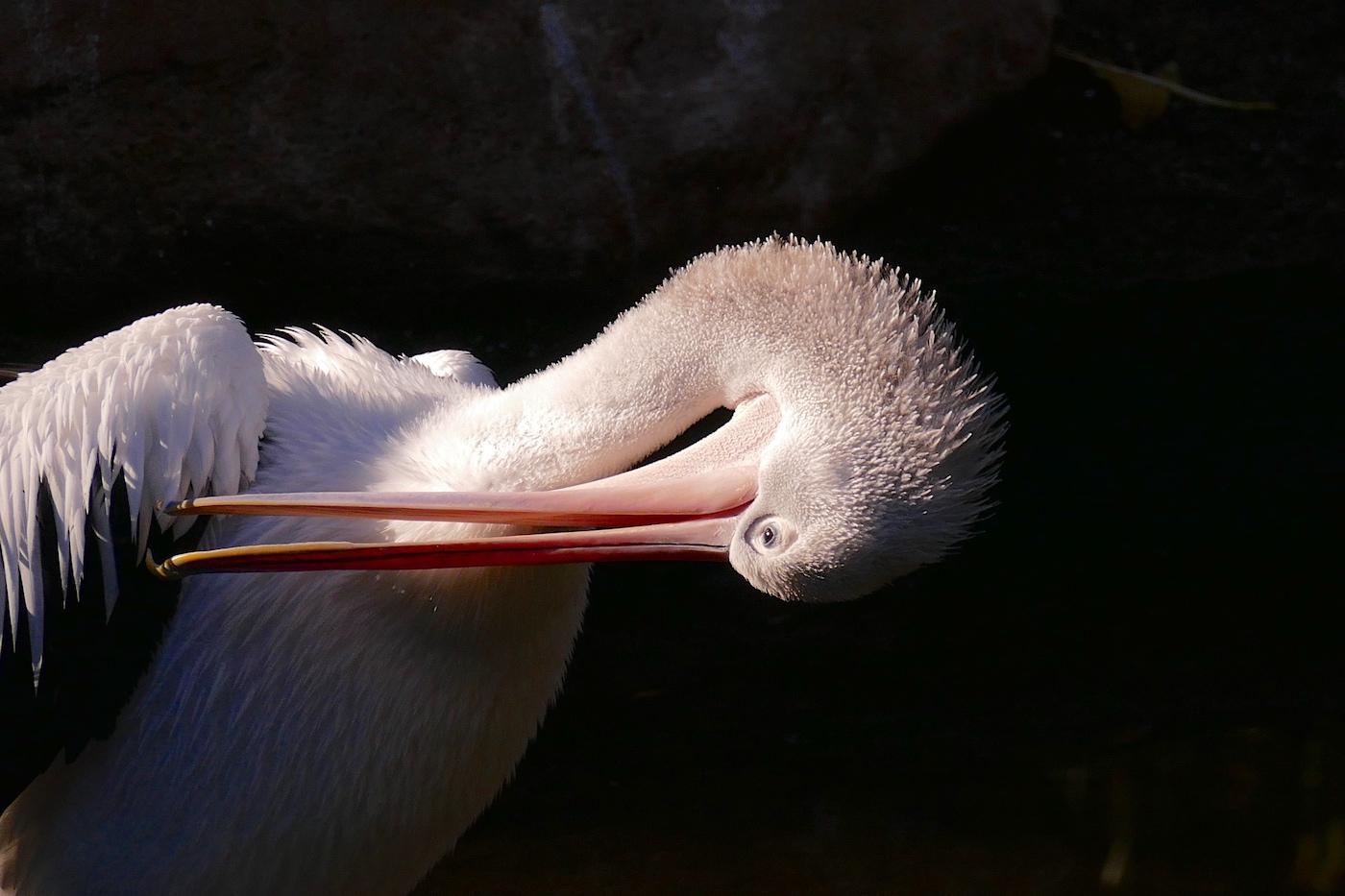 Australian Pelican (Image ID 31133)