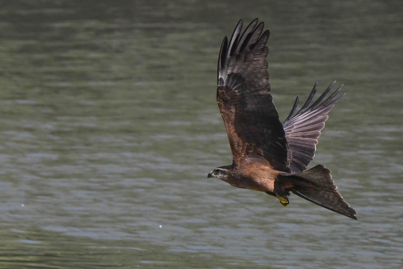 Black Kite (Image ID 31074)