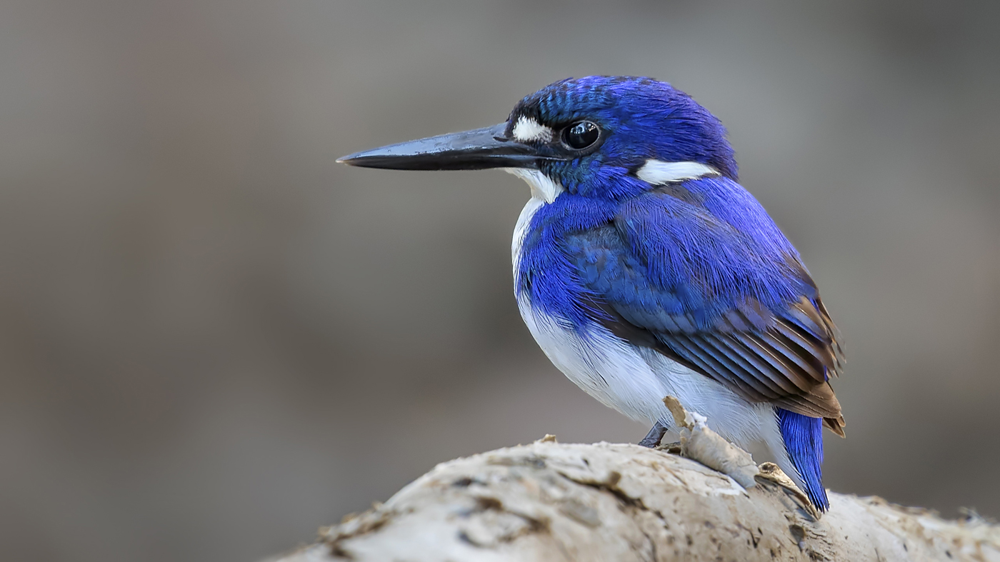 Little Kingfisher