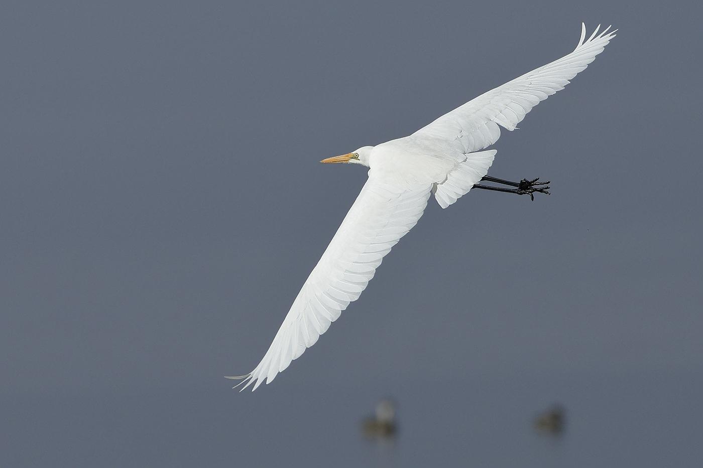 Great Egret (Image ID 31044)