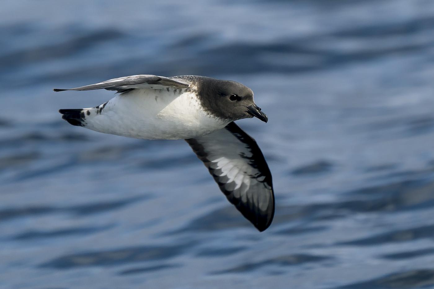 Cape Petrel (Image ID 31041)