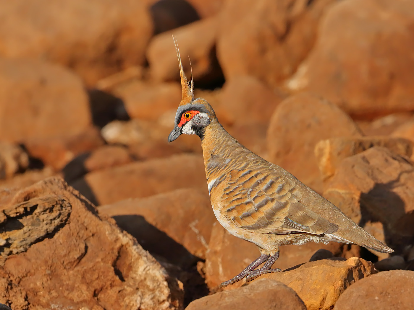 Spinifex Pigeon (Image ID 31831)