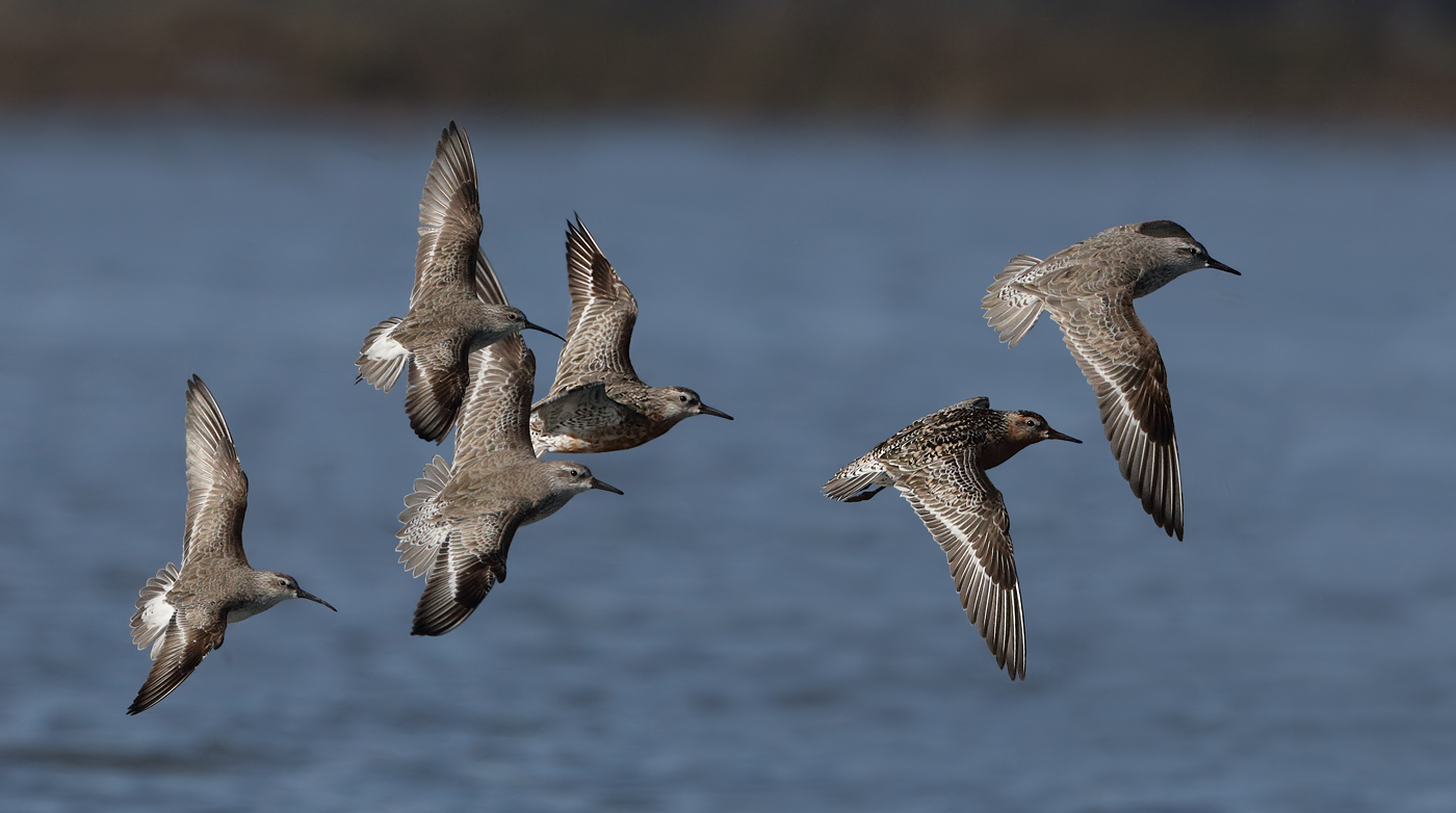 Curlew Sandpiper, Red Knot