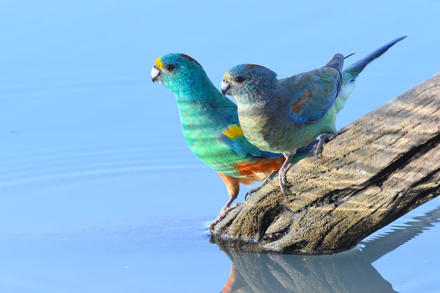Mulga Parrot (Image ID 31888)