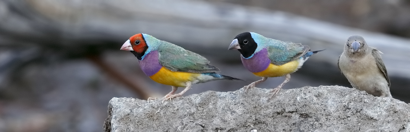 Gouldian Finch (Image ID 31764)