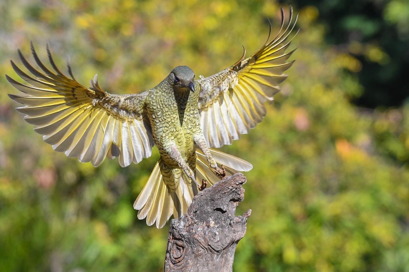 Satin Bowerbird (Image ID 32408)