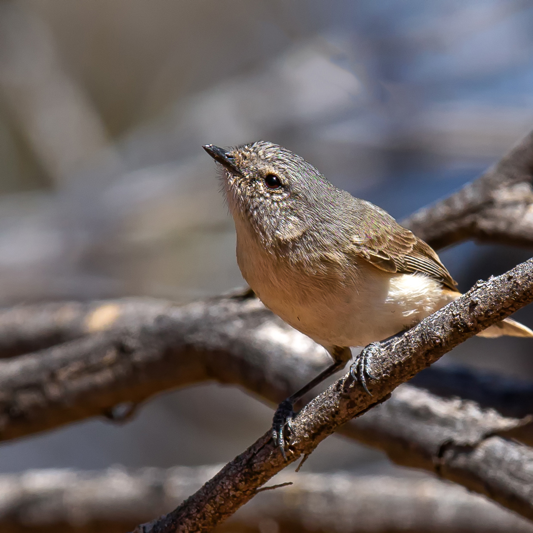 Slaty-backed Thornbill