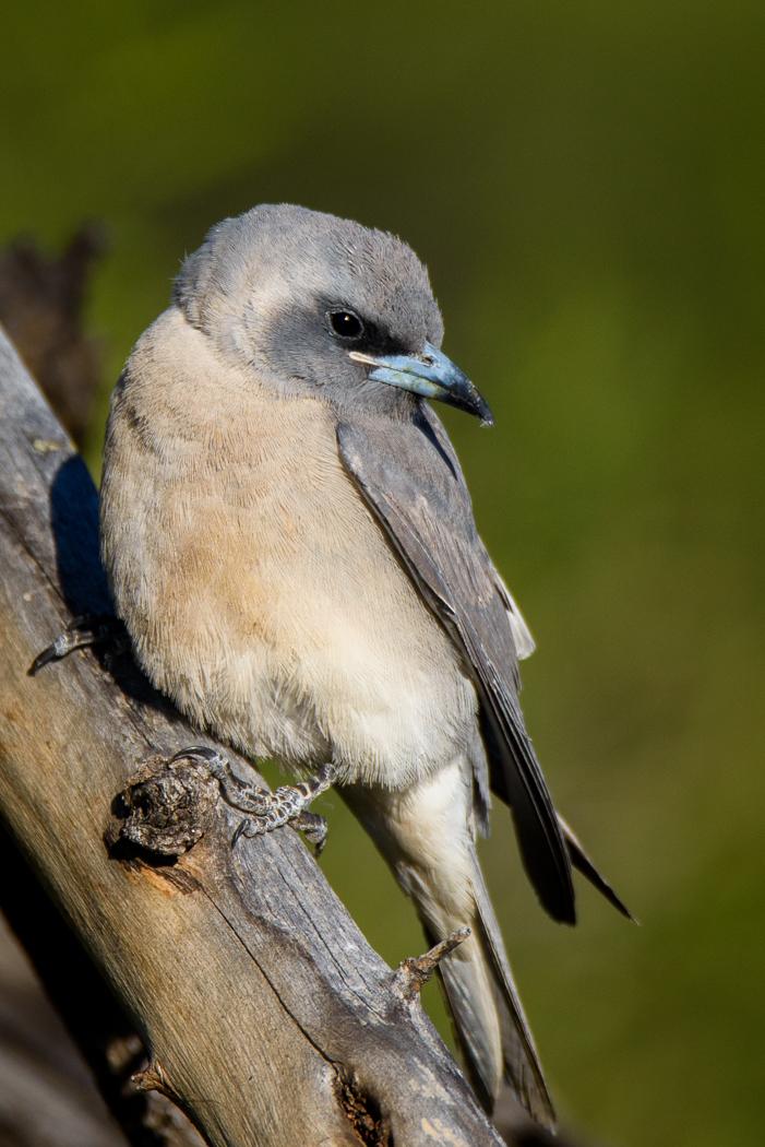 Masked Woodswallow