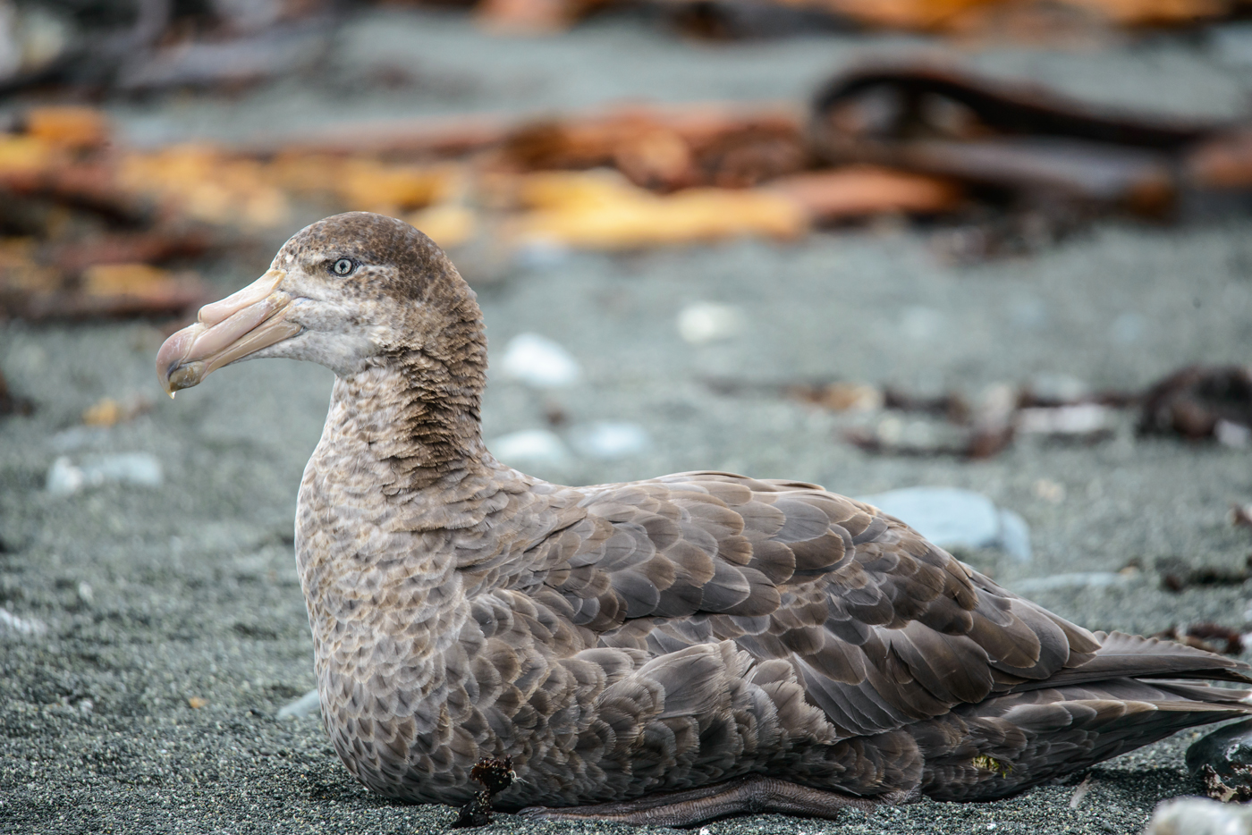 Northern Giant-Petrel (Image ID 32275)