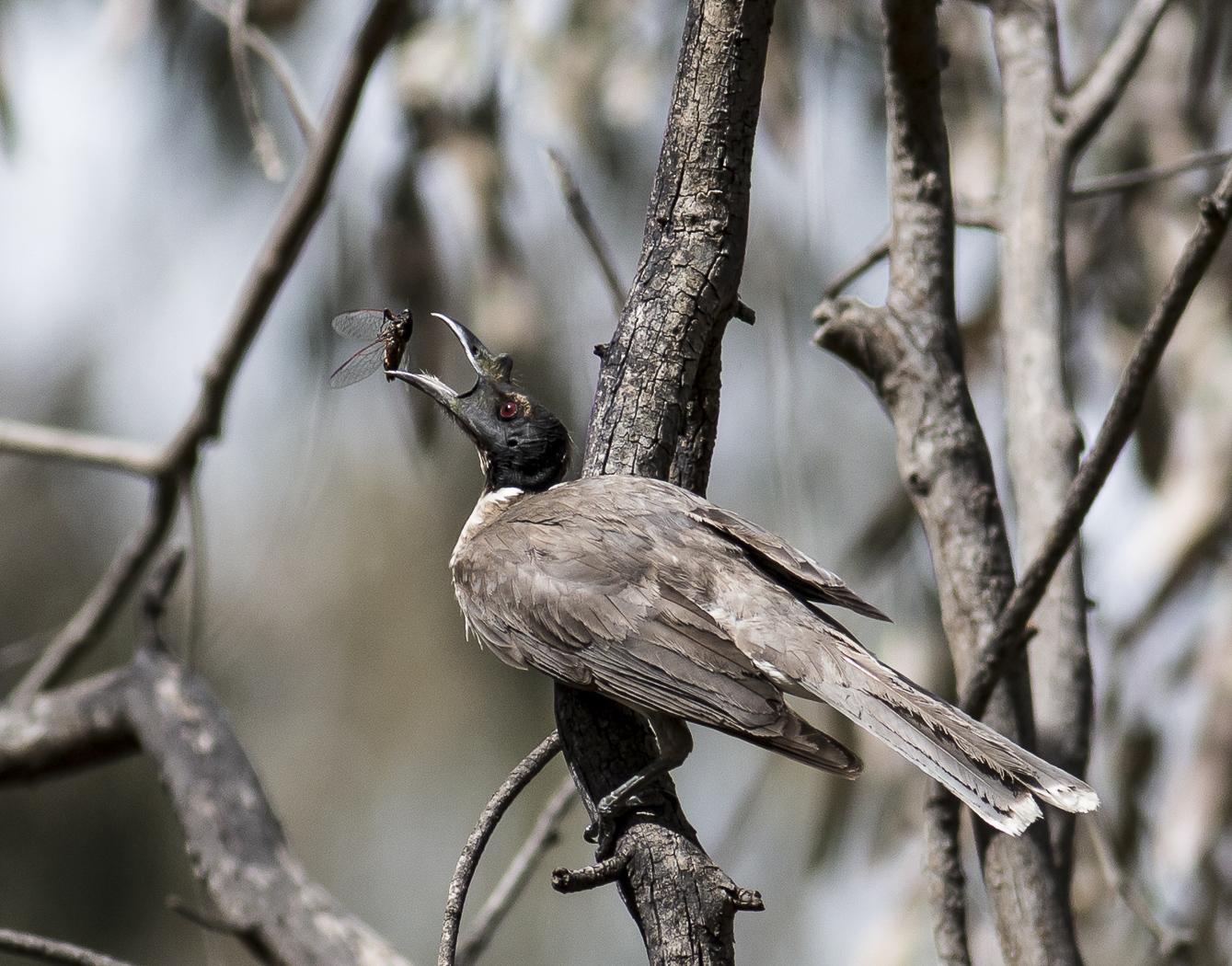 Noisy Friarbird (Image ID 32543)