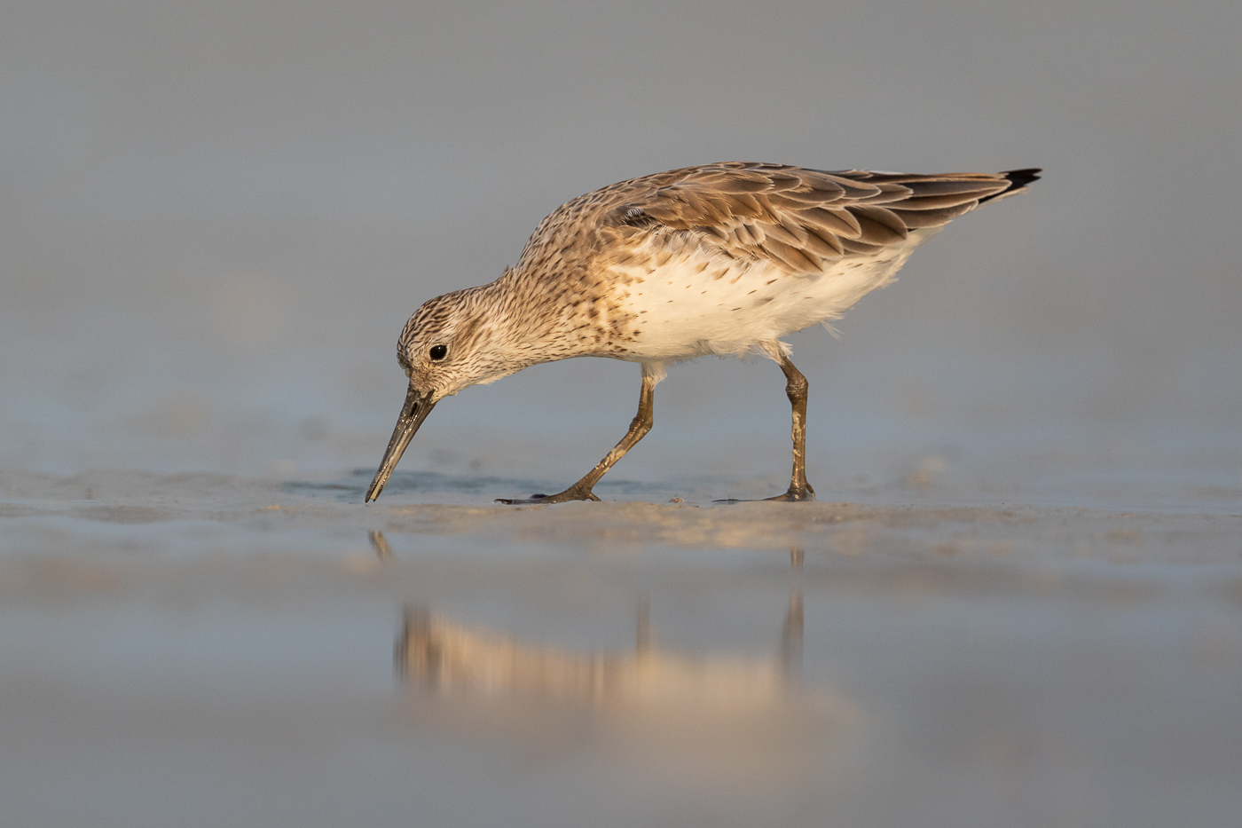 Great Knot (Image ID 32622)