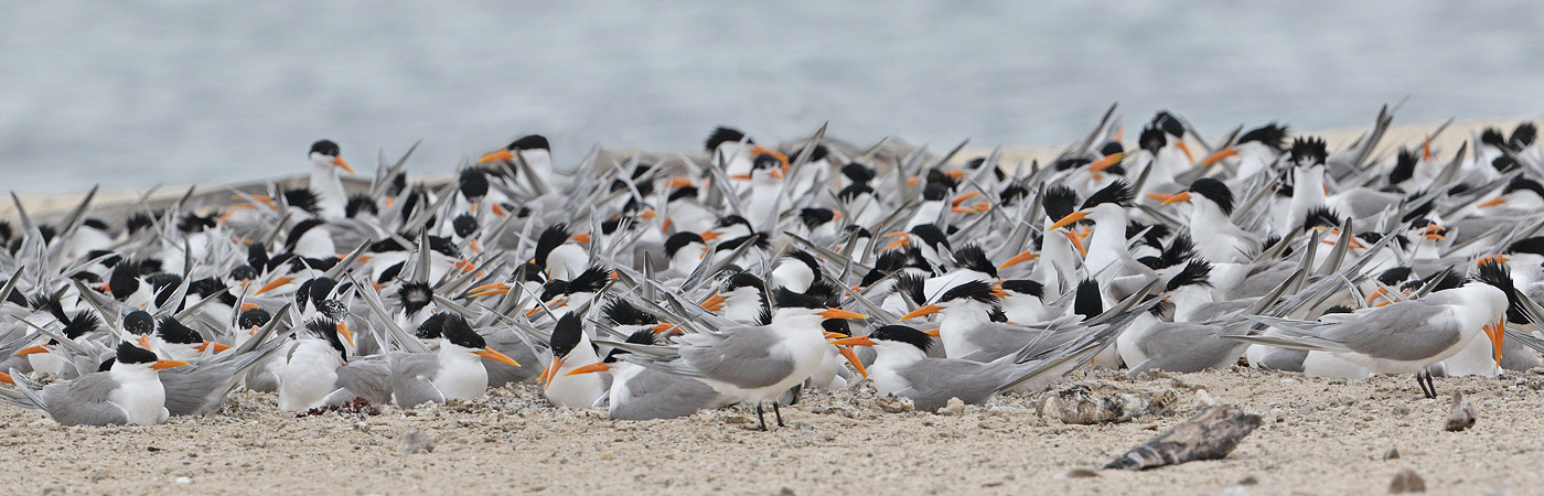 Lesser Crested Tern (Image ID 32886)