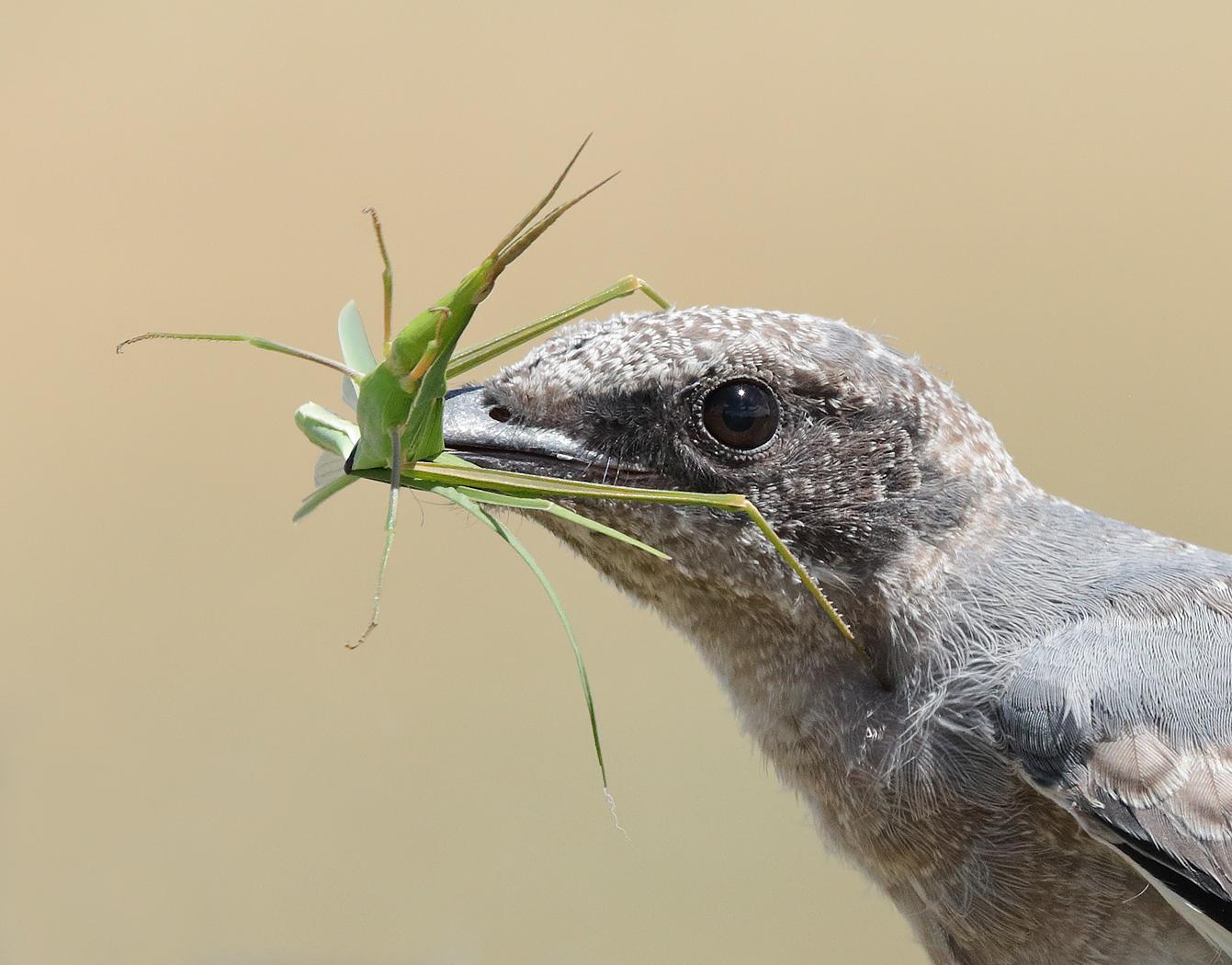 Black-faced Cuckoo-shrike (Image ID 32944)