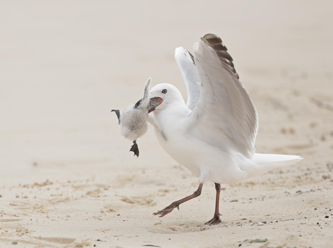 Common Noddy, Silver Gull (Image ID 32967)
