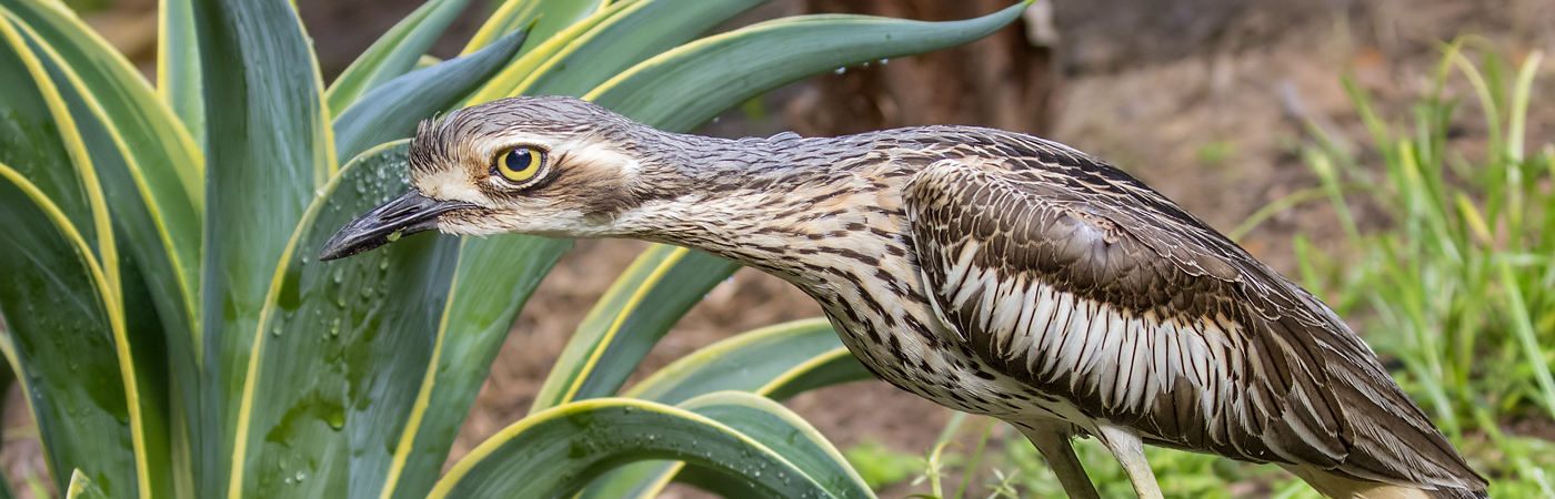 Bush Stone-curlew (Image ID 33203)
