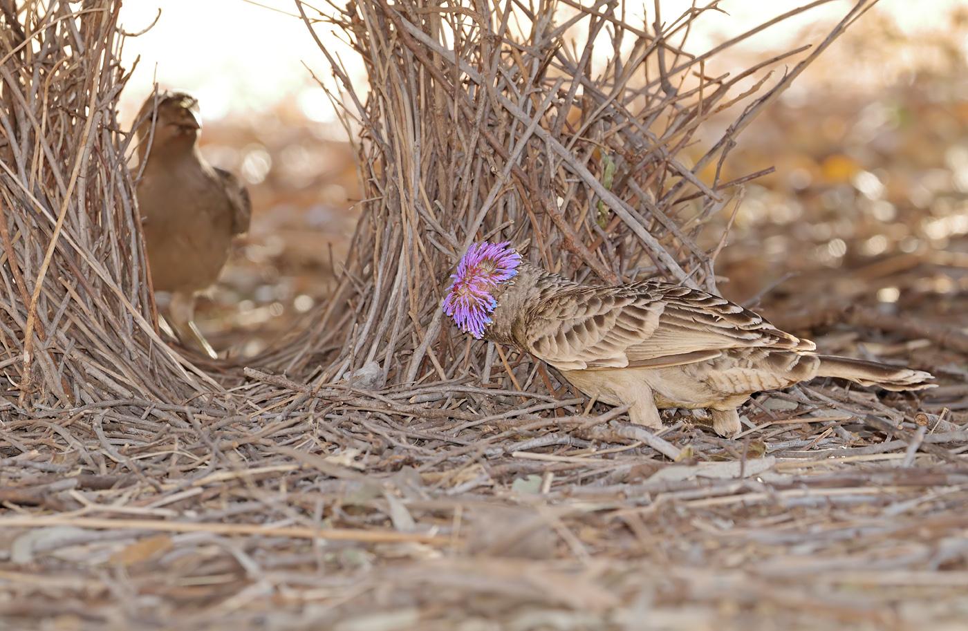 Great Bowerbird (Image ID 32934)