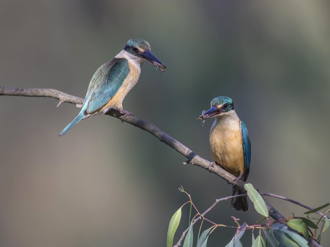 Sacred Kingfisher (Image ID 32894)
