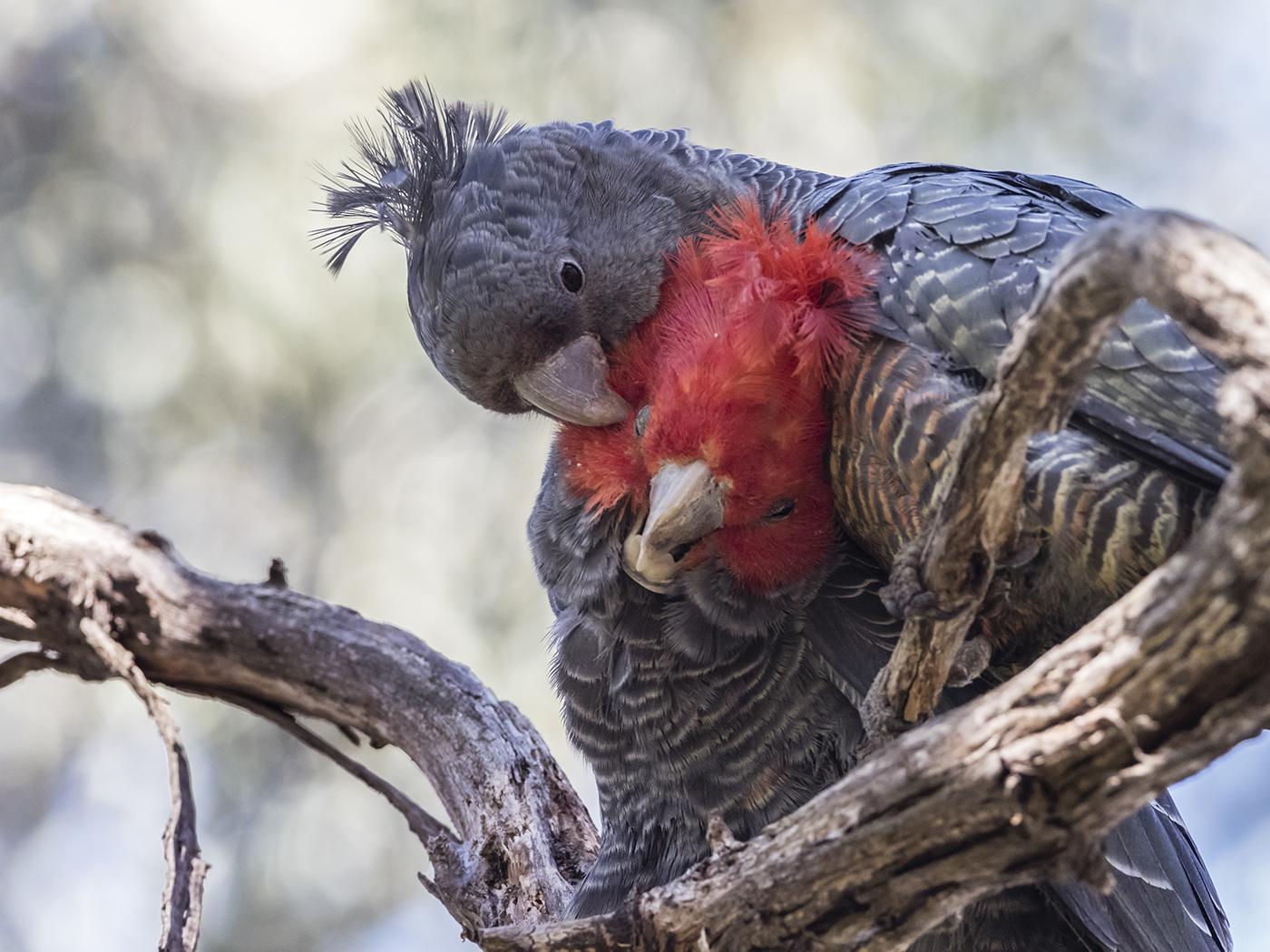 Image result for gang gang cockatoo