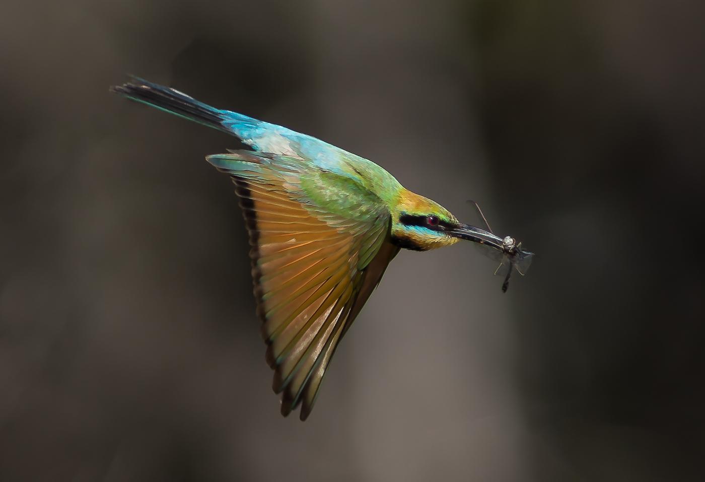 Rainbow Bee-eater (Image ID 32887)