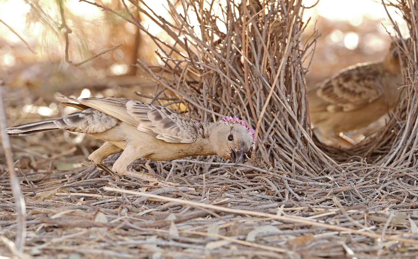 Great Bowerbird (Image ID 32932)
