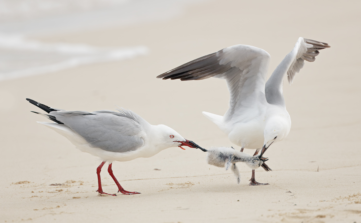 Common Noddy, Silver Gull (Image ID 32969)