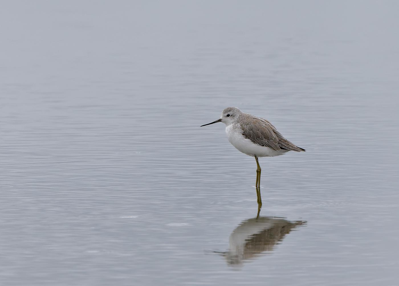 Marsh Sandpiper (Image ID 33455)