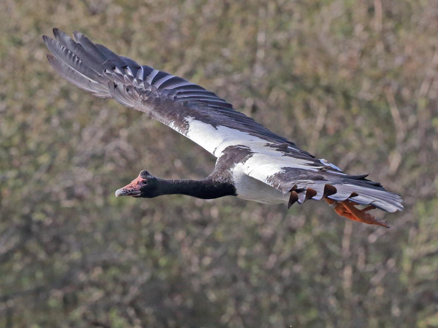 Magpie Goose (Image ID 33452)