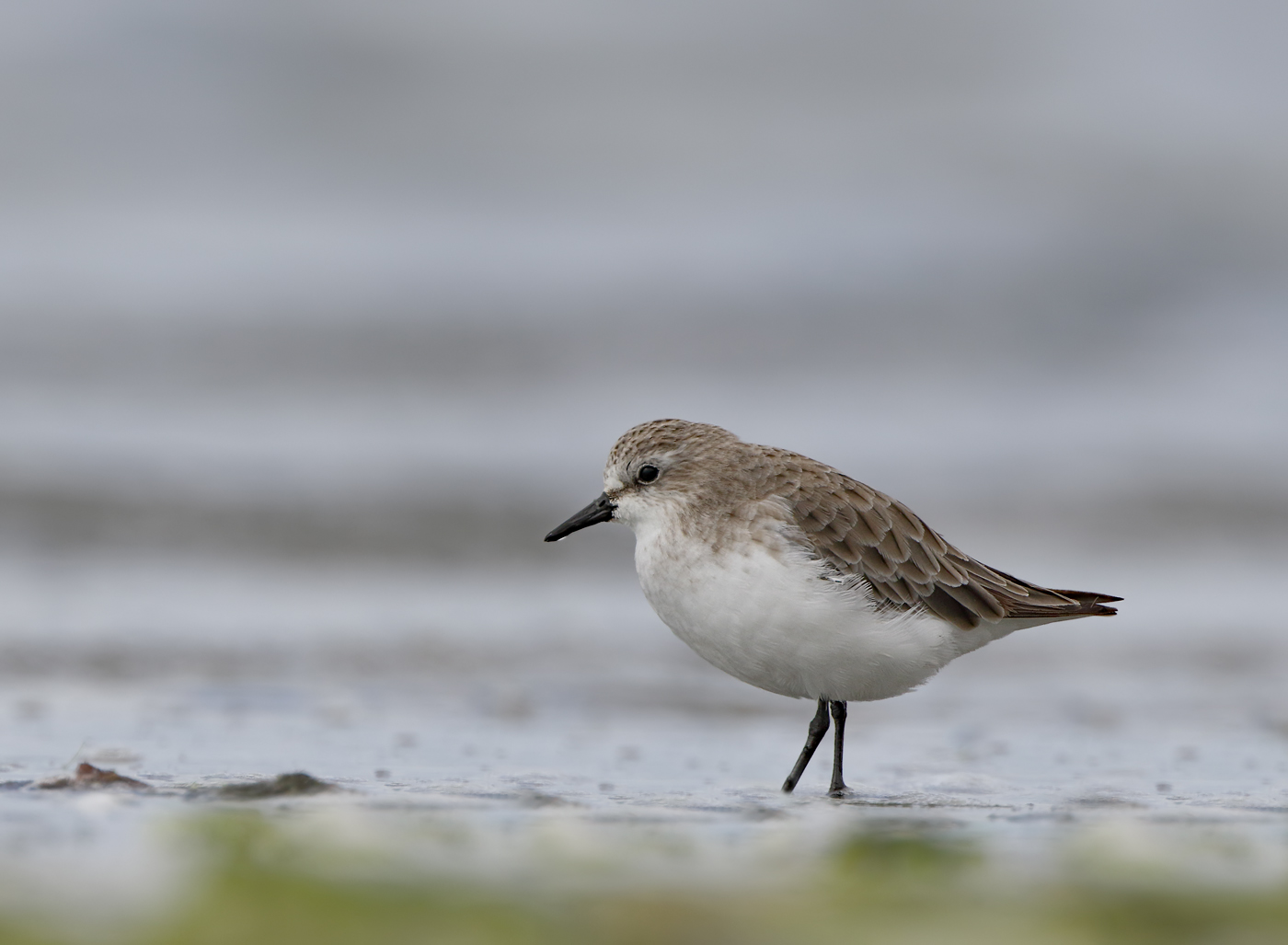 Red-necked Stint (Image ID 33457)