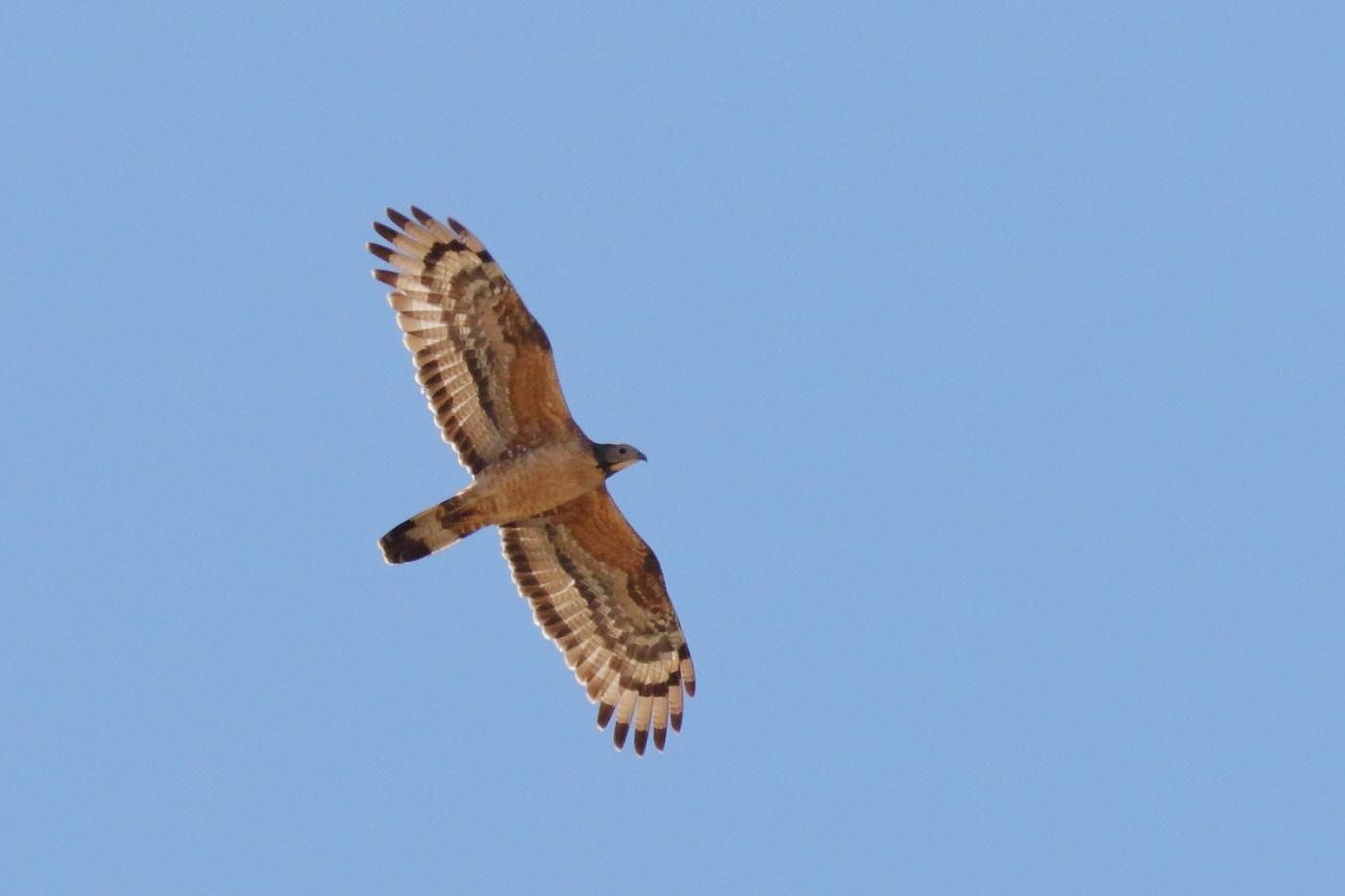 Oriental Honey-buzzard (Image ID 33379)