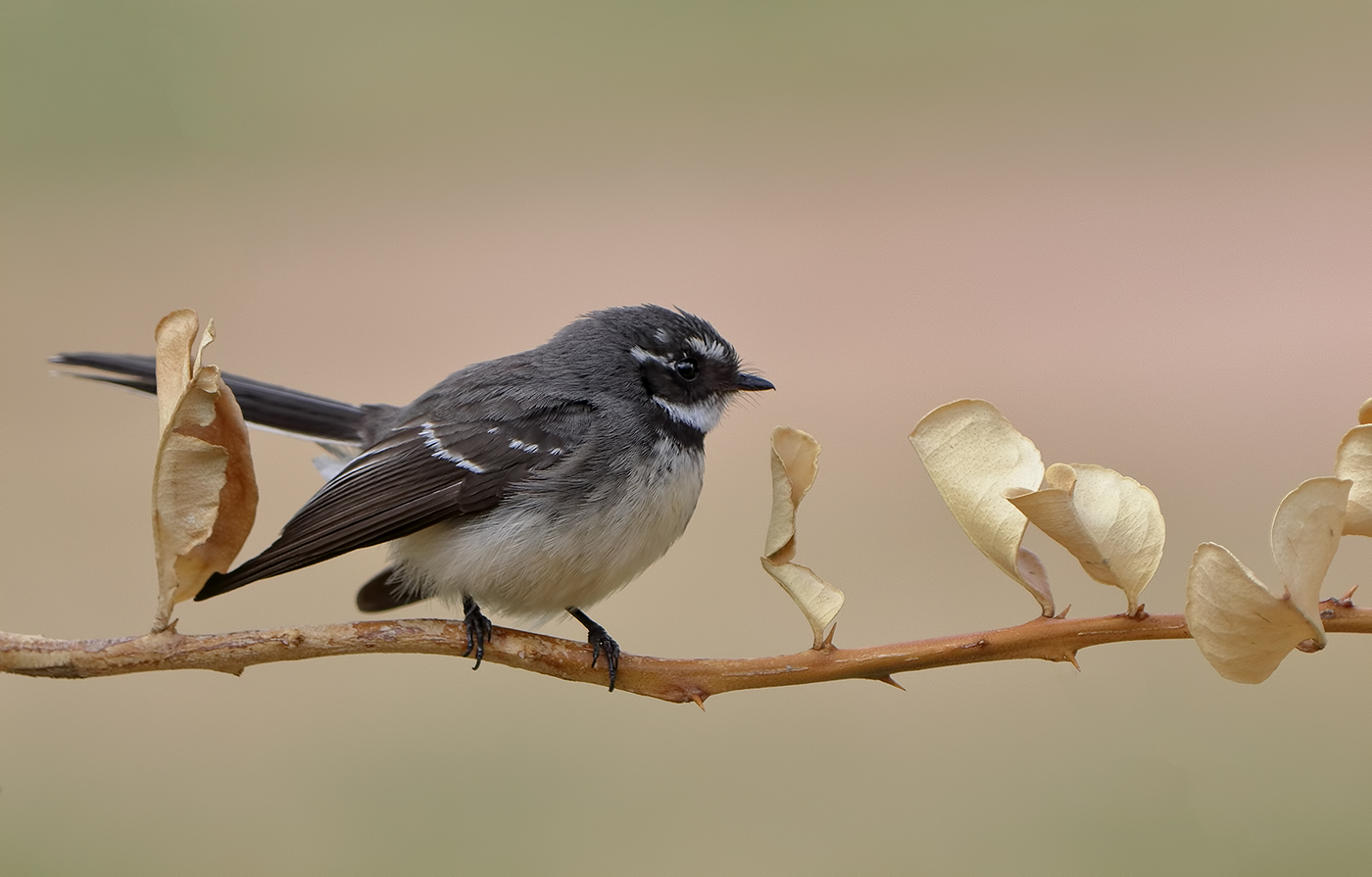 Grey Fantail (Image ID 33824)