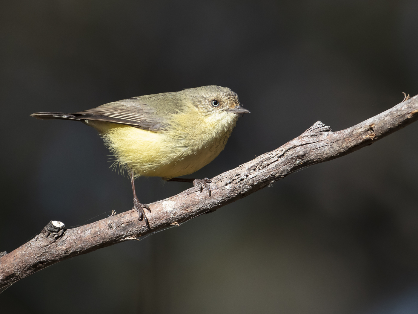 Buff-rumped Thornbill (Image ID 33448)