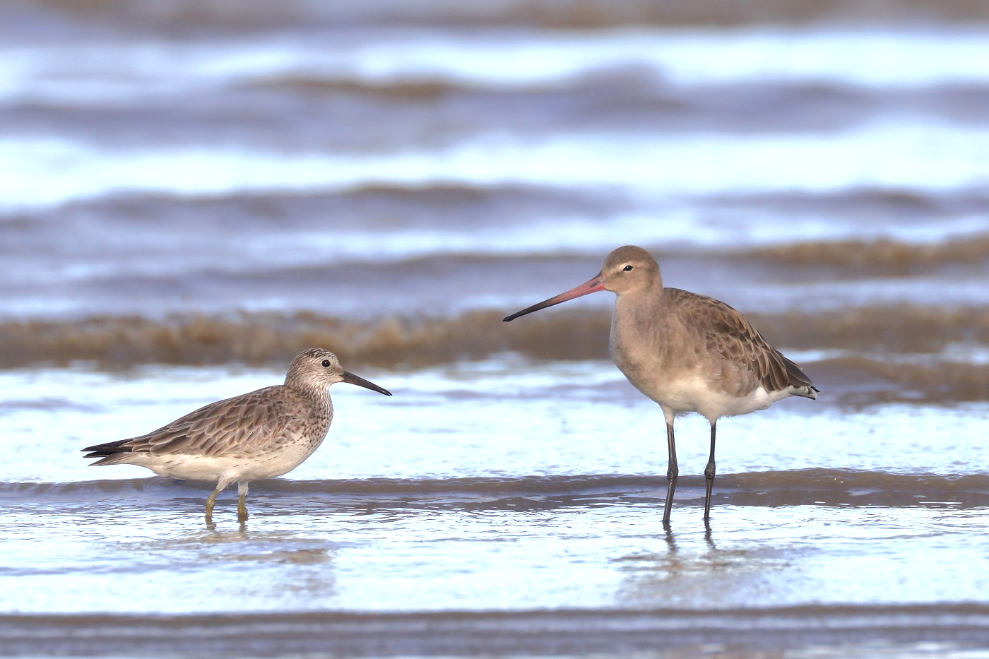 Black-tailed Godwit,Great Knot (Image ID 33596)