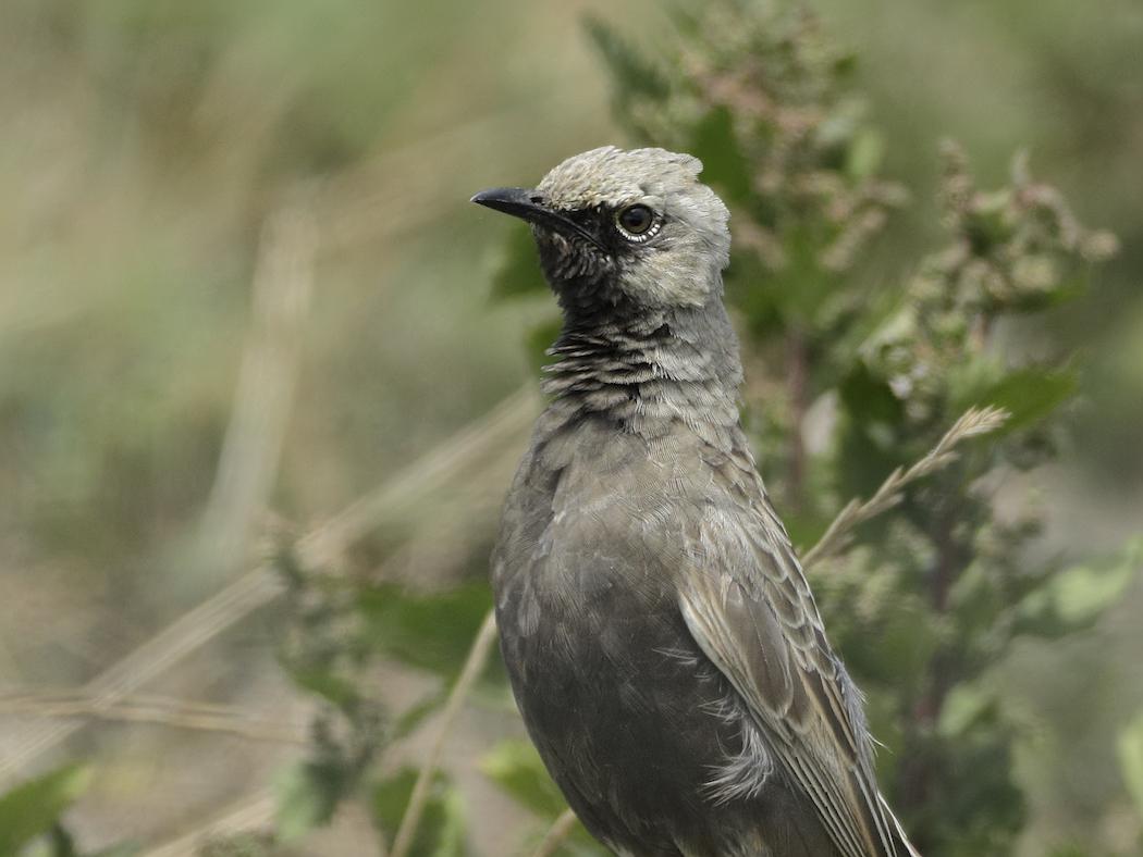 Brown Songlark (Image ID 33467)