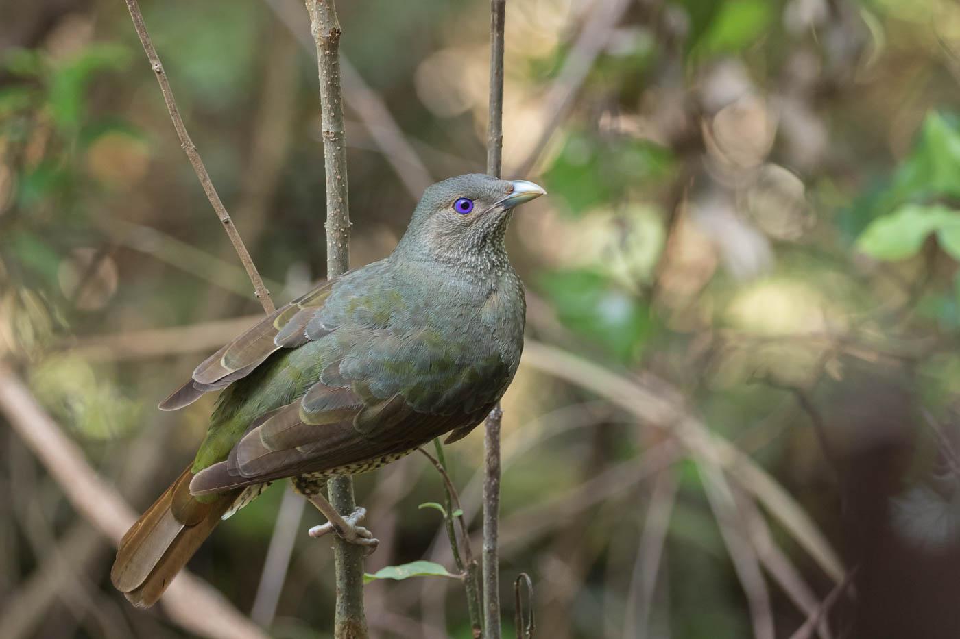 Satin Bowerbird (Image ID 33689)