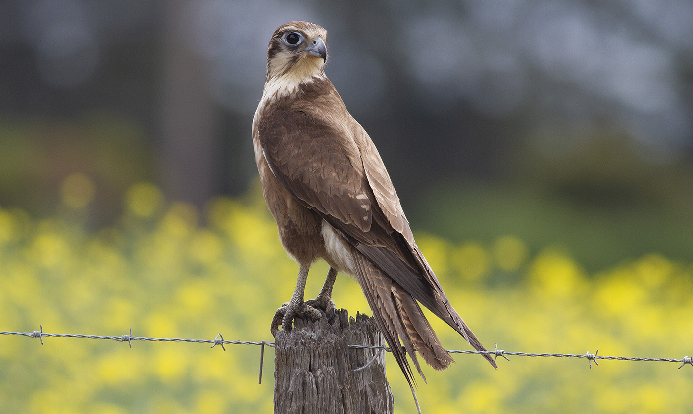 Brown Falcon (Image ID 33952)