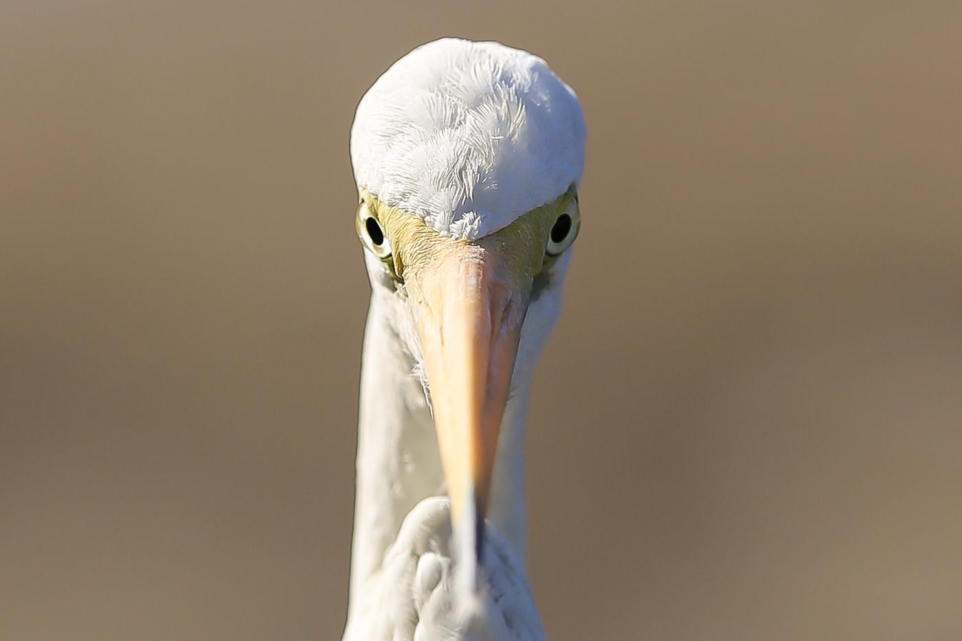 Great Egret (Image ID 34087)