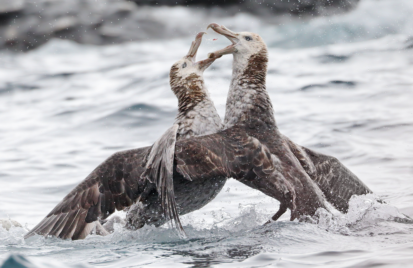 Image 34590 of Northern Giant-Petrel by Glenn Pure