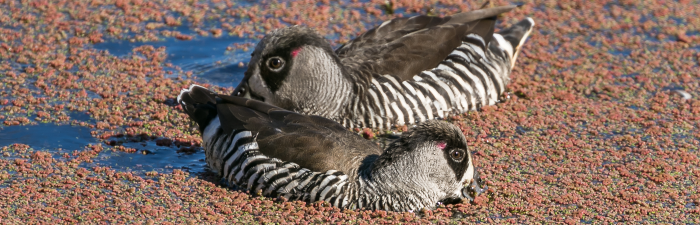 Pink-eared Duck (Image ID 34431)