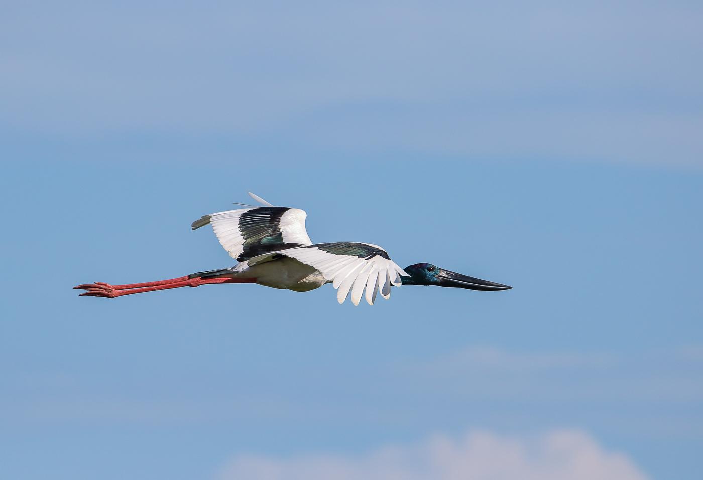 Black-necked Stork (Image ID 34830)