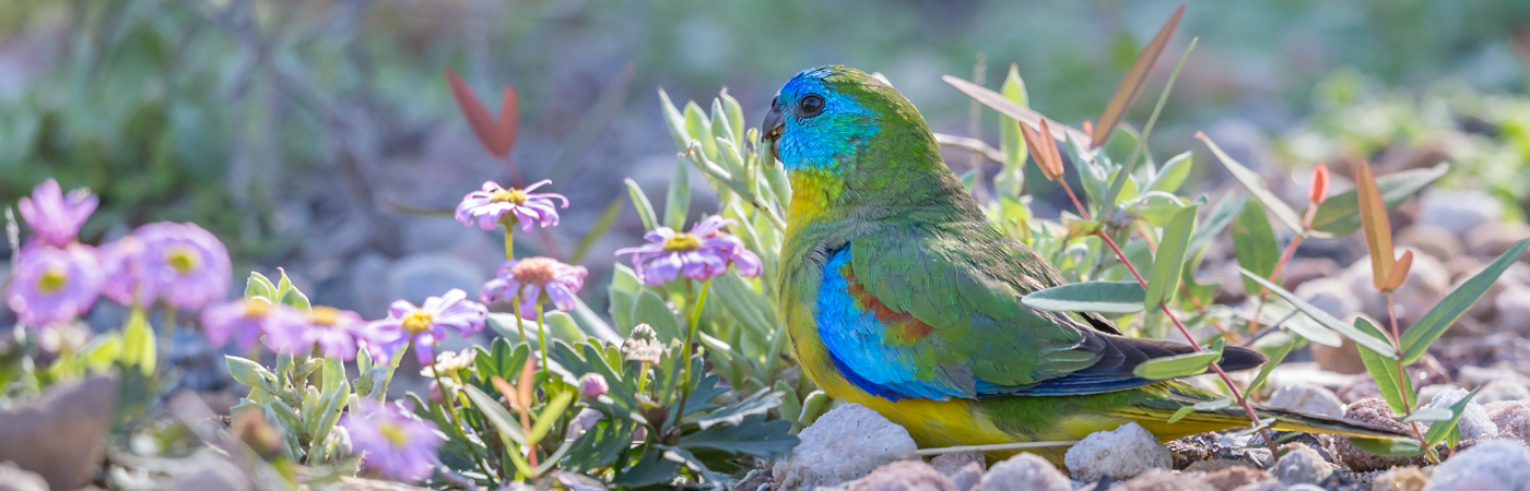 Turquoise Parrot (Image ID 34727)