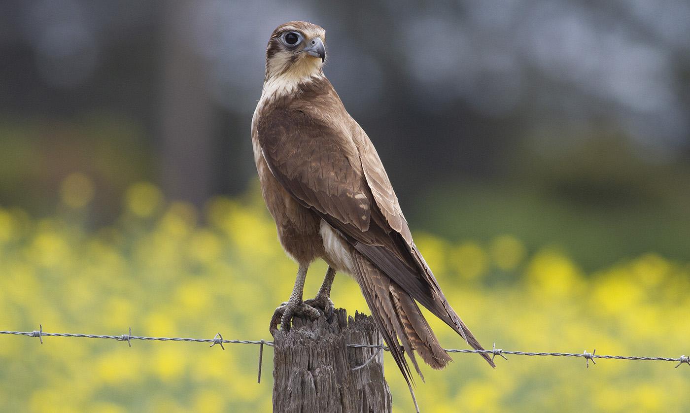 Brown Falcon (Image ID 34835)