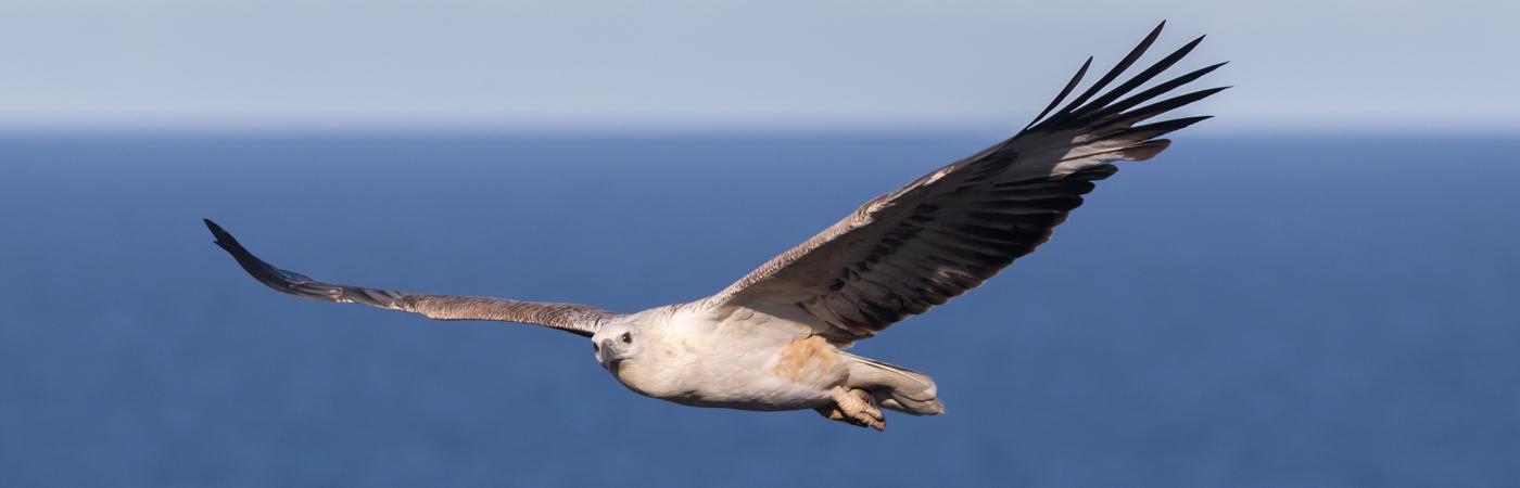 White-bellied Sea-Eagle (Image ID 34737)