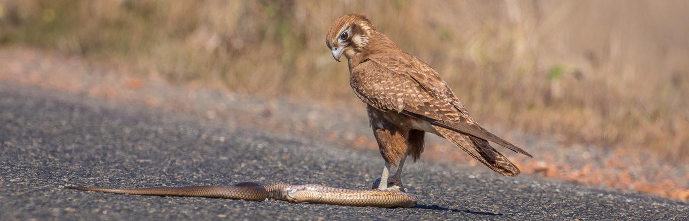Brown Falcon (Image ID 35476)