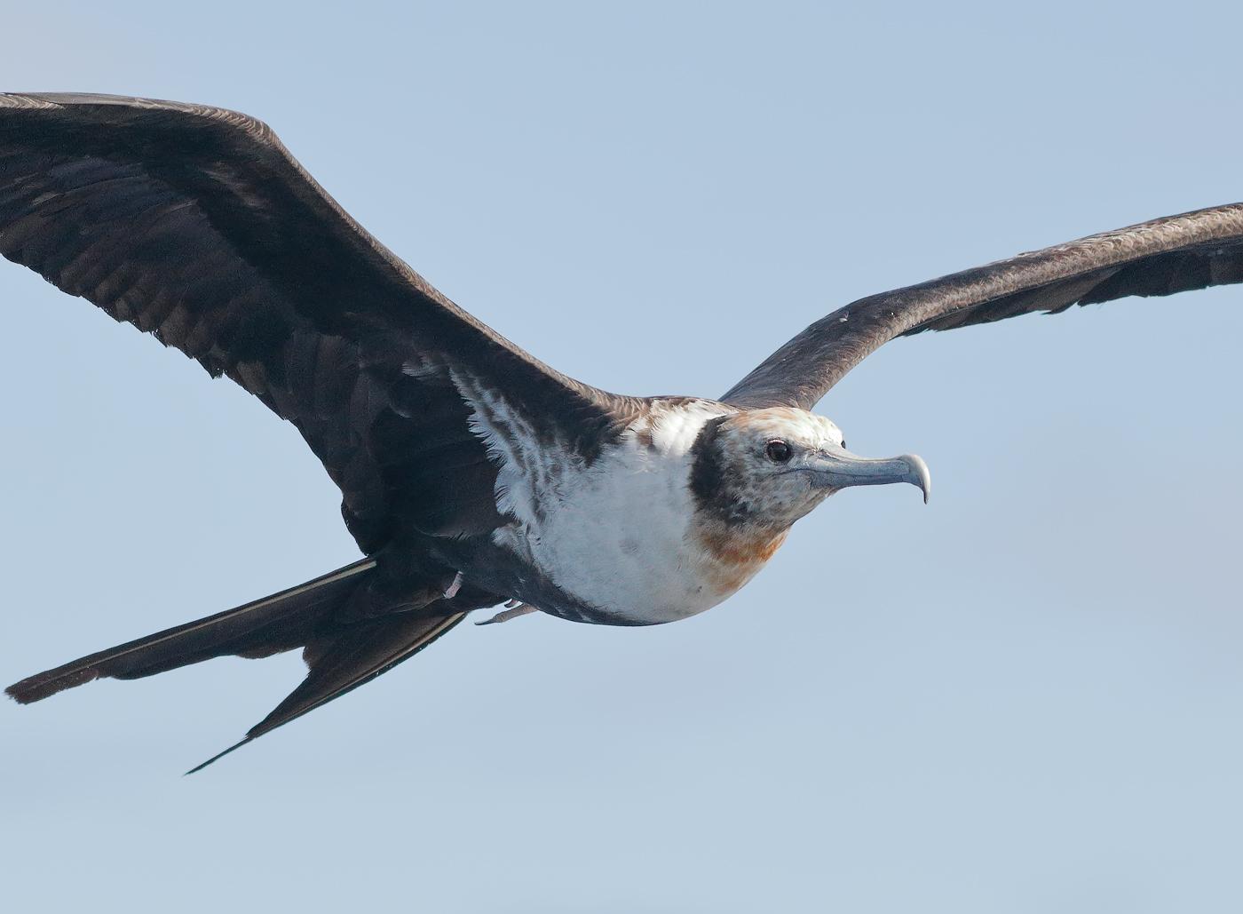 Lesser Frigatebird (Image ID 35186)