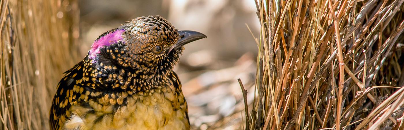 Western Bowerbird (Image ID 35486)