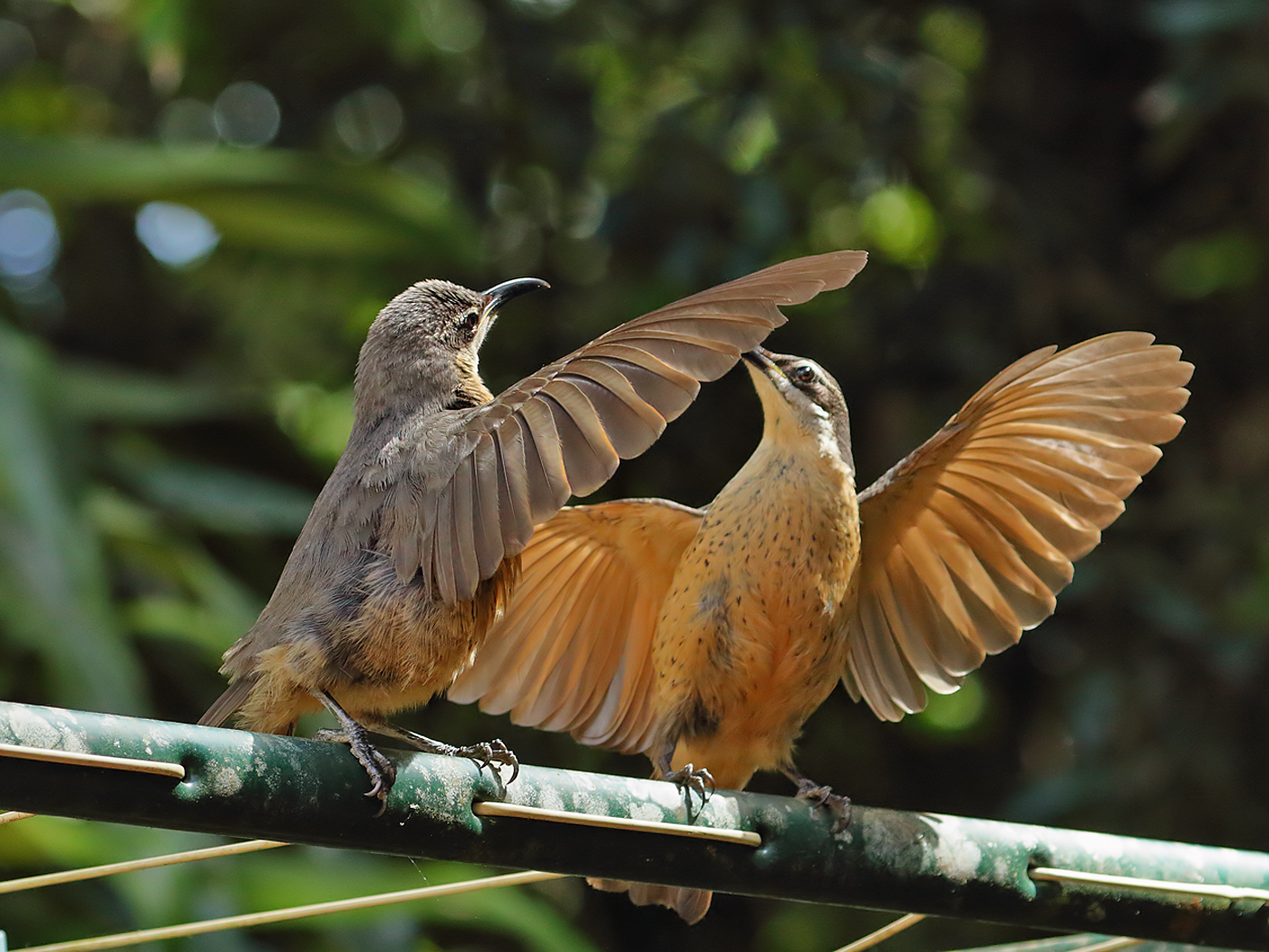Victoria's Riflebird (Image ID 35248)