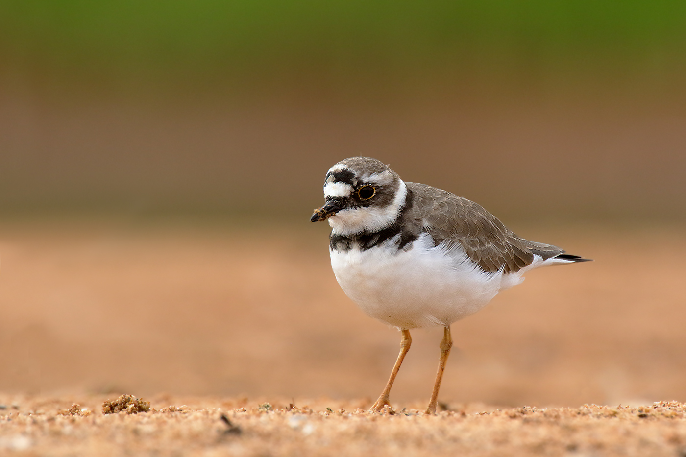Little Ringed Plover (Image ID 35213)